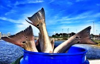 SLOTS ON THE ROCKS – 26 – 28 inch Red Drum  10-14-15