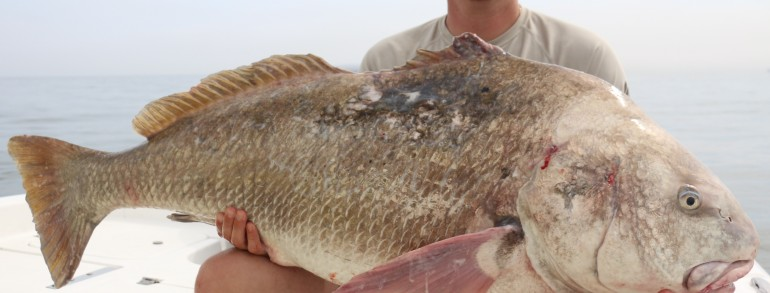 THE BIG, THE BAD, THE UGLY – Gigantic Black Drum