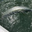 The Tarpon dance at the side of the boat