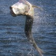 Action shot of a large Tarpon in full breach