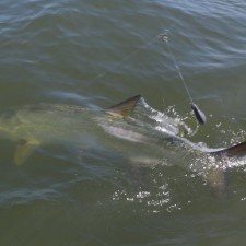 Little action shot of a large Tarpon boat side