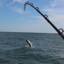 Tarpon at the start of a full breach