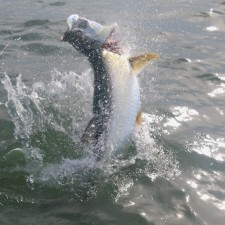This Tarpon didn't like me grabbing it's lip to land it