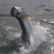 Action shot of a large Tarpon coming in for a landing after a full breach