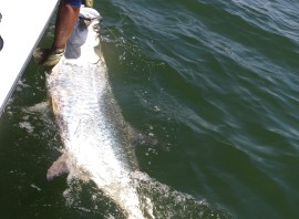 May Tarpon, Trout and Bull Reds