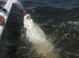North Florida Tarpon