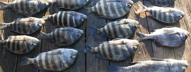 Fall Sheepshead