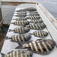 Here's what a beginner Sheepshead angler can accomplish